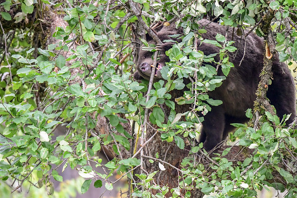 9-23-18 **3/4 Grizzly Mom & Cub In Apple Tree