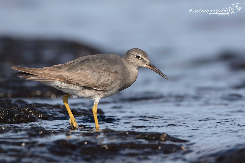 Wandering Tattler - Non Breeding Plumage