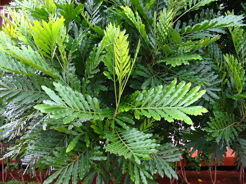 ! Filicium decipiens cultivated on hotel grounds Kauai 20021006_144-4466_img.JPG