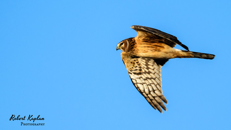 Northern Harrier -7884.jpg