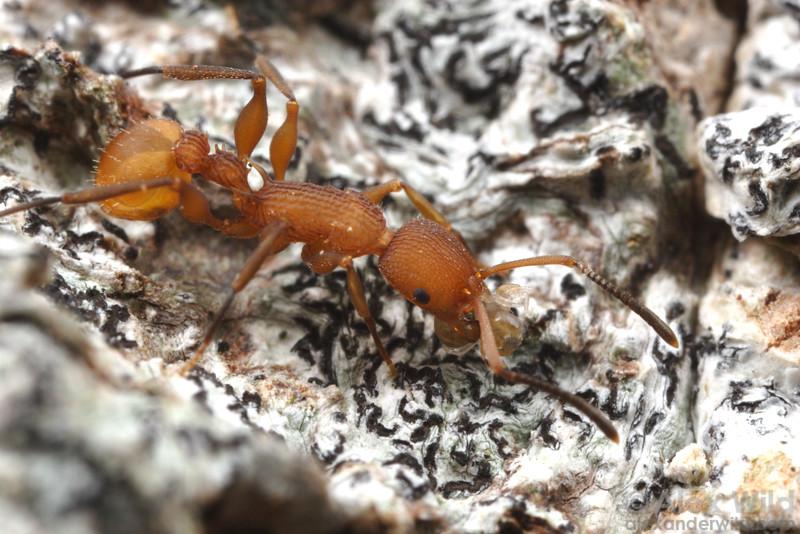Nesomyrmex anduzei  Gamboa, Panama