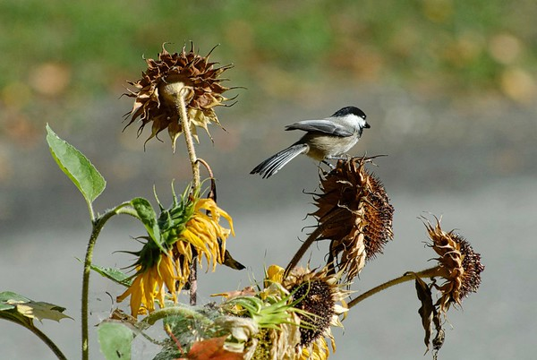 Nuthatch, chickadee, sunflowers