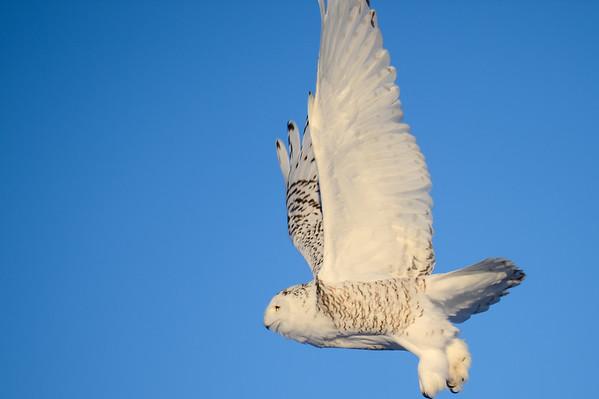 12 2012 Dec 27 GH  Owl, Snow Buntings, Merlin & Snowy Owl