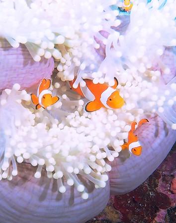 Indonesia, Wakatobi,  Lembeh,  Arenui