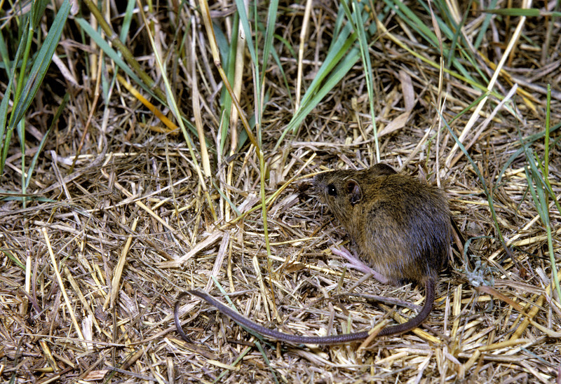 Meadow Jumping Mouse (Zapus hudsonicus) Pigeon Lake, Bayfield Co., WI, 1965