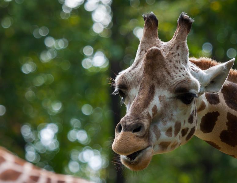 Giraffe_BronxZoo_20170930.jpg