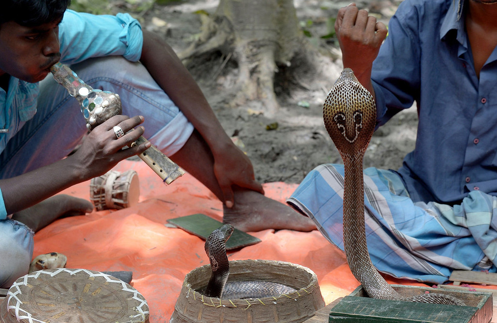 . Indian snake charmers perform with \'gokhras\' - cobras - in baskets for passers by at a snake fair at Purba Bishnupur village, around 85 kms north of Kolkata on August 17, 2013.  Hundreds of people queued in a remote village in eastern India over the weekend to receive blessings from meters-long and potentially deadly snakes, thought to bring them good luck.   DIBYANGSHU SARKAR/AFP/Getty Images
