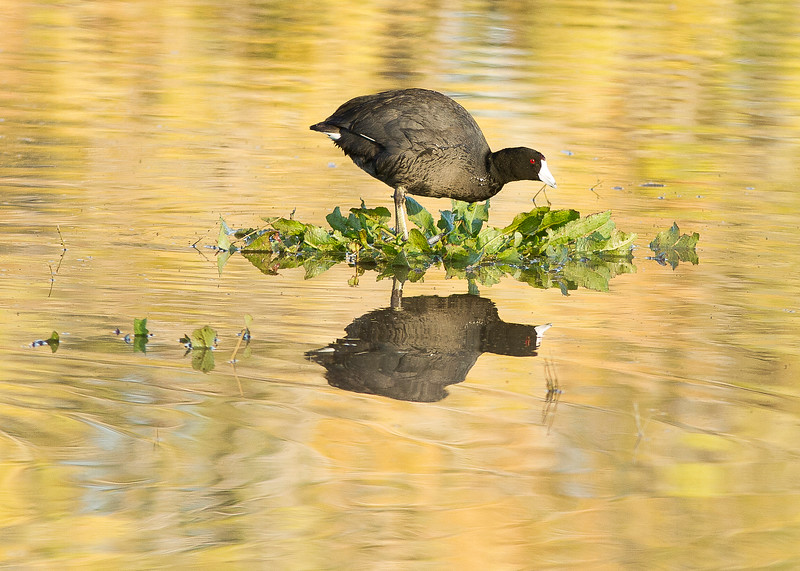 COOT
