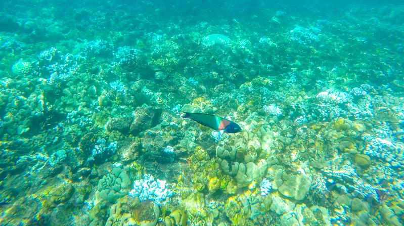 Duperrey Saddle Wrasse Fish