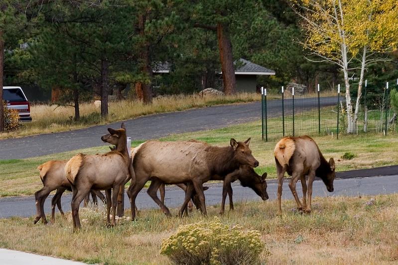 Elk Females 3.jpg