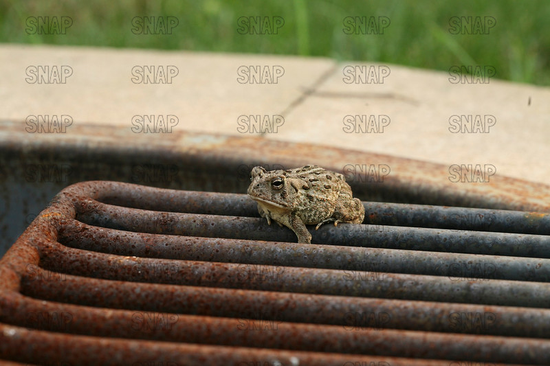 Fowler's Toad (Bufo fowleri); native to the Eastern U.S.; sitting on an outdoor grill.