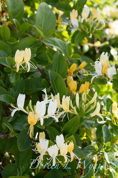 Lonicera japonica 'Halliana'_0478.jpg