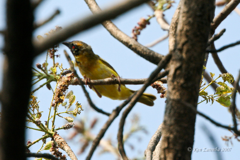 Possible Spotted-back Weaver, Moremi Game Reserve, Okavango Delta, Botswana