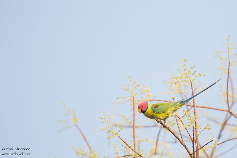 Plum-headed Parakeet - Umred Karandhla WLS, India