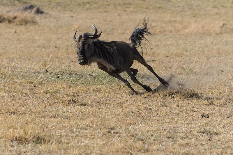 Wildebeast Running