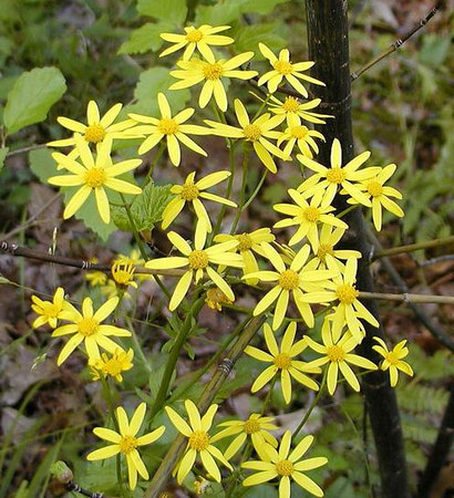 16 Sunny-Yellow-of-Butterweed.jpg