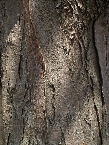 Gladitsia triacanthos (honey locust tree), found in Bucks County, Eastern PA