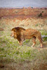 Male lion walking through the grassy plains of Africa.