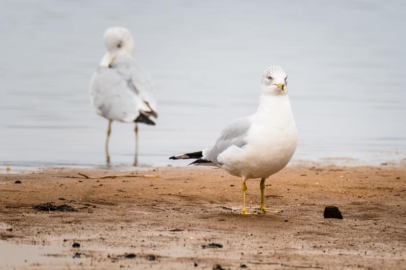 web seagull portrait.jpg