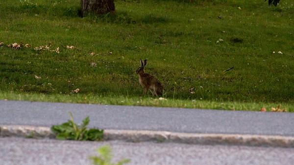 Kanin (Rabbit)