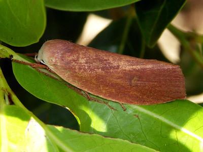 Xylorictidae