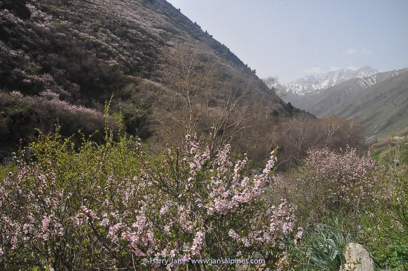 Prunus divaricata