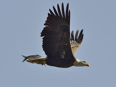 Eagles at Conowingo