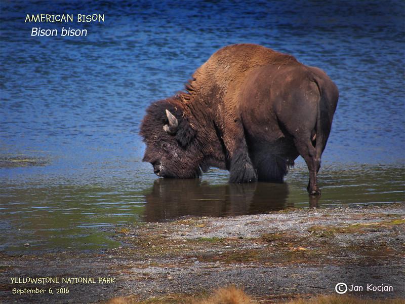 9.6.16 Bison 1 .jpg