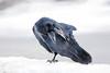 Wild adult raven scratching