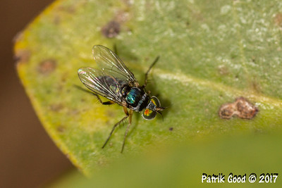 Mangrove Long Legged Fly