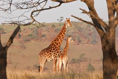 Giraffe - necking behavior