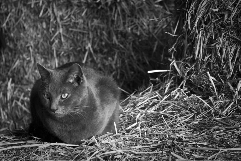 Cat in the Straw.jpg