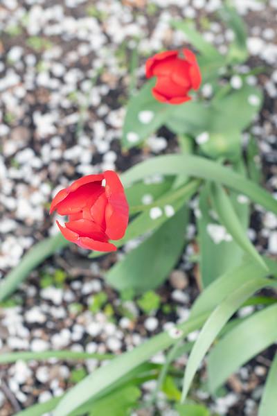 tulipsnpetals.jpg