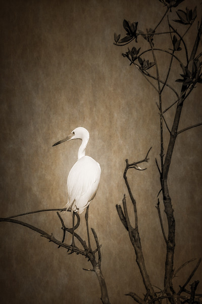 White Phase Great Blue Heron