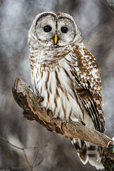 Barred Owl Looking at You