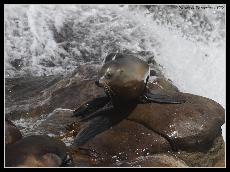 California Sea Lion, La Jolla Cove, San Diego County, California, May 2010