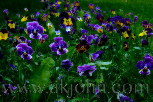 deep_purple_7833