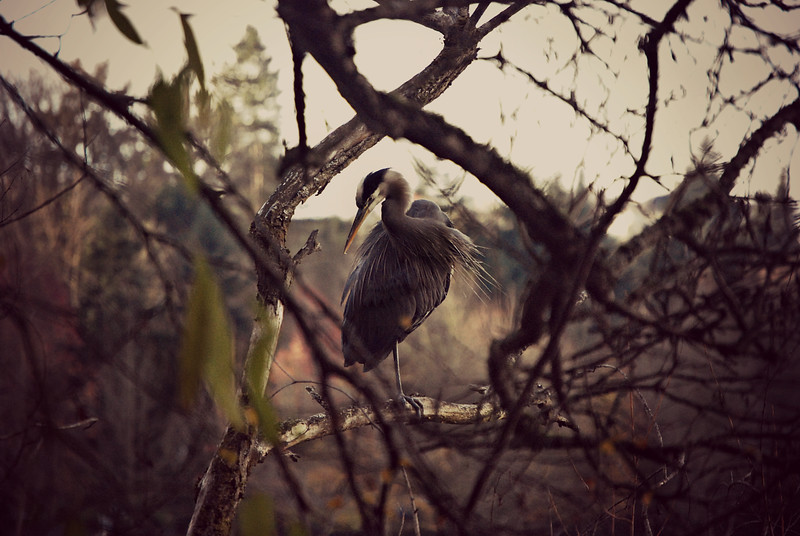 Great Blue Heron Seattle, WA