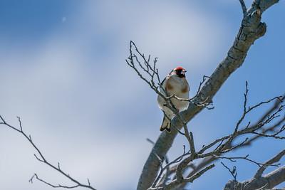 European Goldfinch [Carduelis carduelis]