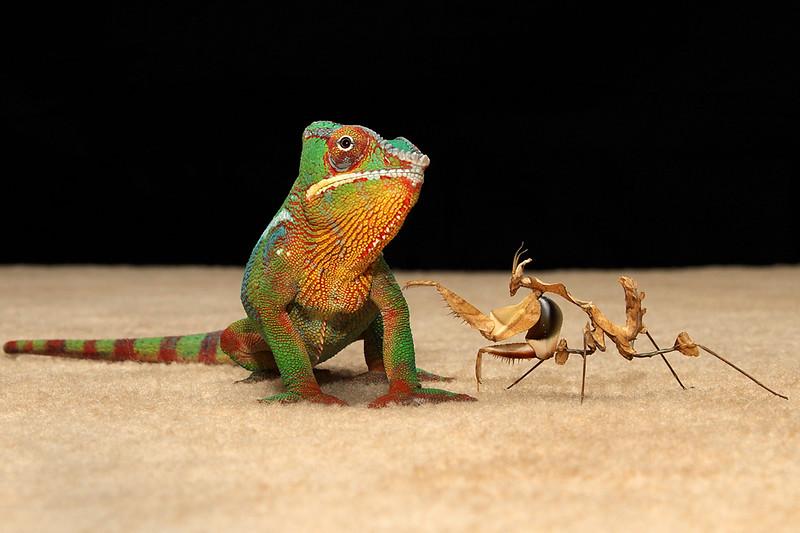 Chameleon and Idolomantis.jpg