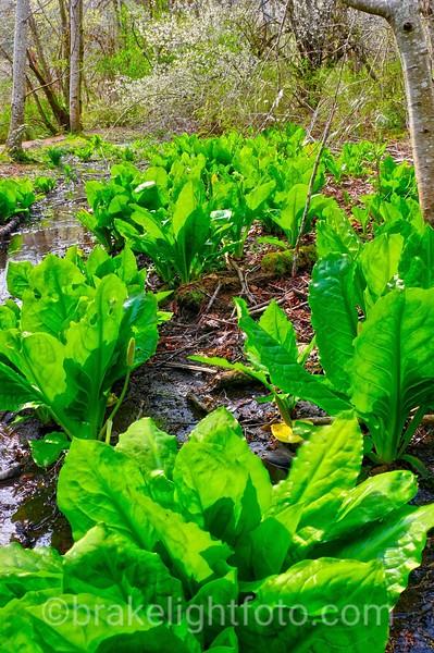 Skunk Cabbage - Lysichiton americanum