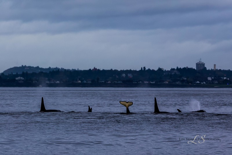 Seattle---Killer-Whale-Watch-1-3.jpg