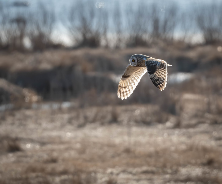 _5006671-Edit Short-eared Owl fly by wings down lit.jpg