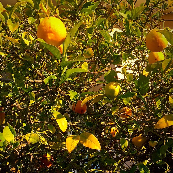 11.5 miles in three days was made so much easier running by lemon trees in bloom each morning. #ileftmyheartinsanfrancisco