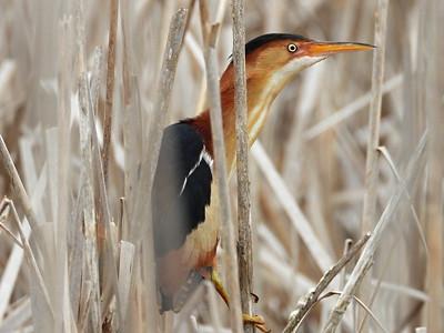 20200525 Marsh Birds
