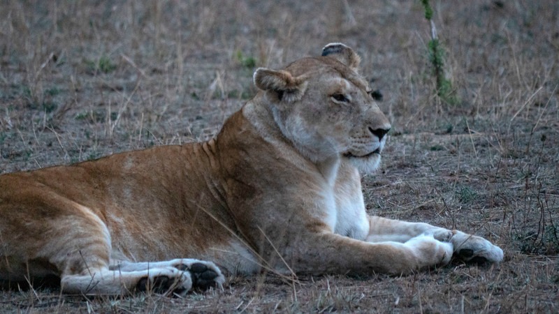 Tanzania-Serengeti-National-Park-Safari-Lion-03.jpg