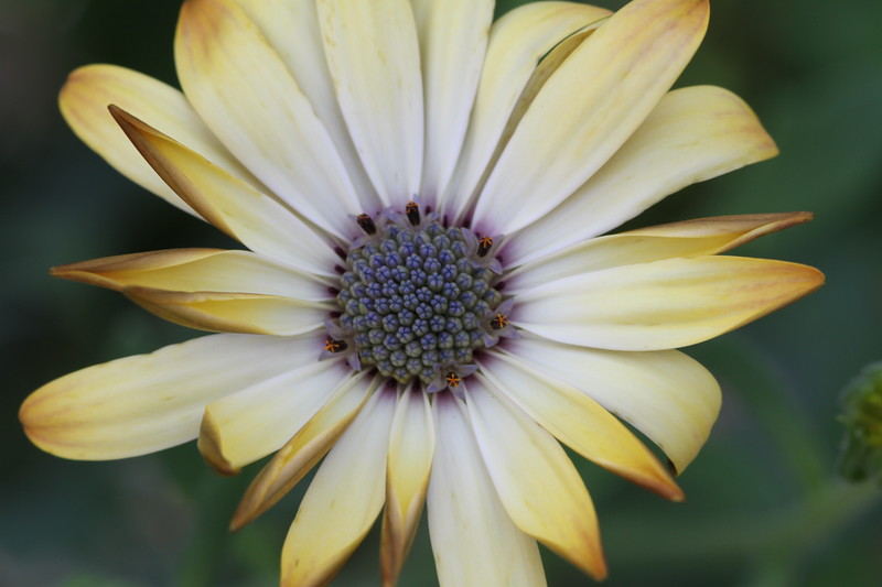 Osteospermum 'Buttermilk'.jpg