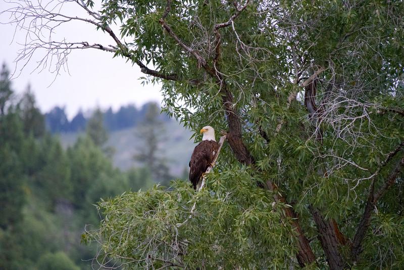 Bald Eagle in Jackson Wyoming