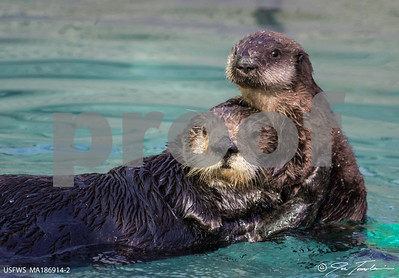 school-sea-otter-conceived-in-wild-is-1st-born-in-captivity