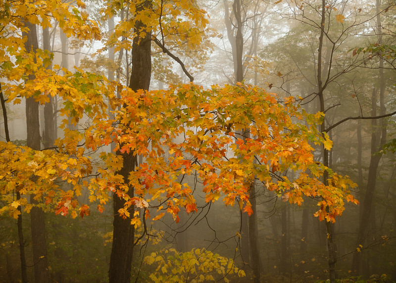 Foliage in Fog